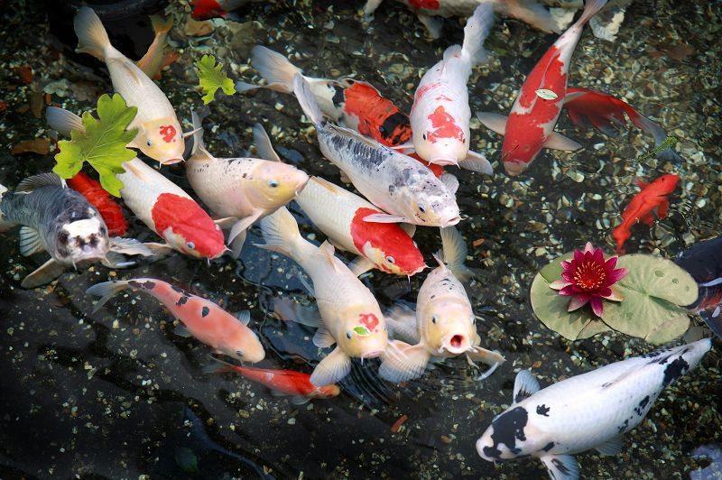 Cá Koi
